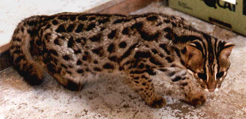 Baloo, an Asian Leopard Cat